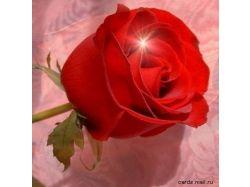 Роза цветы 3