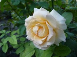 Роза цветы 5