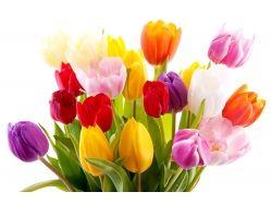 Фото тюльпанов скачать 1