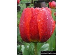 Фото тюльпанов скачать 2