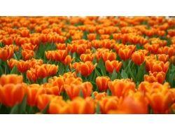 Фото тюльпанов скачать 7