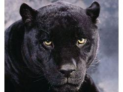 Пантеры картинки 6