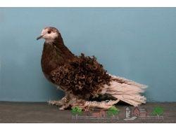 Породы голубей в картинках 1