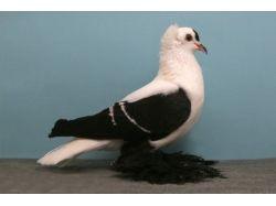 Породы голубей в картинках 3