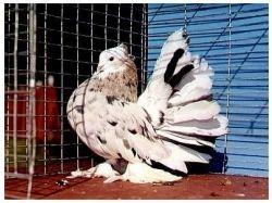 Породы голубей в картинках 6