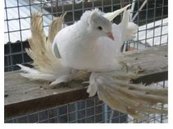 Породы голубей в картинках 7