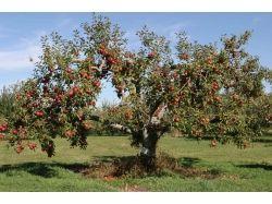 Картинки яблоня 1