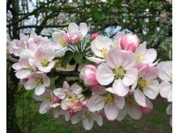 Картинки яблоня 2