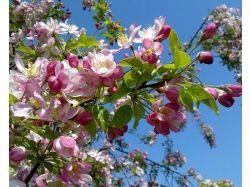 Картинки яблоня 3