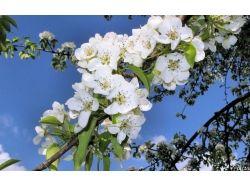 Картинки яблоня 8