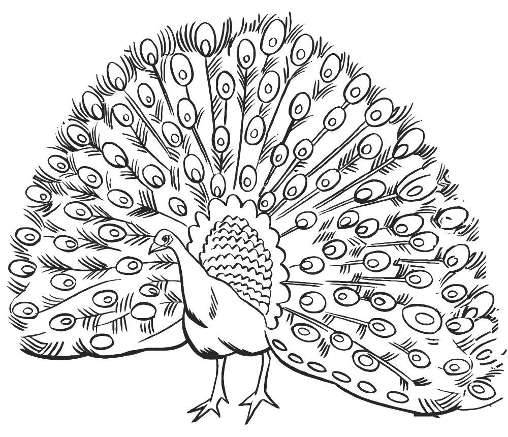 Картинка павлина для детей раскраска