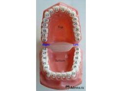 Нумерация зубов человека в стоматологии
