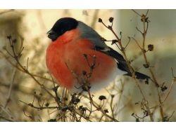 Фото птицы снегирь