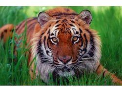 Скачать бесплатно картинки на телефон тигры