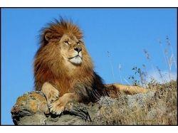 Львы рисунки