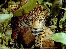 ягуар фото животное