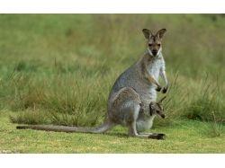 Картинка кенгуру