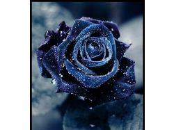 Роза в росе фото