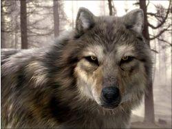Скачать обои с волками на рабочий стол