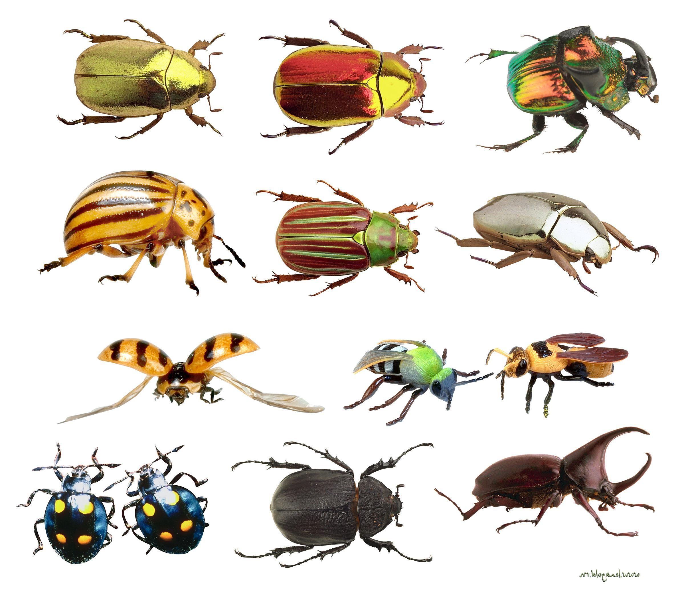 его большие цветные картинки жуков территории деревни