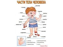 Картинки части тела для детей