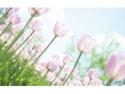 Обои на рабочий стол белые тюльпаны