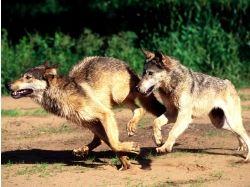 Картинки волка скачать бесплатно