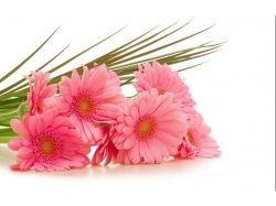 Картинки цветы герберы