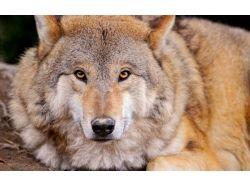 Волк фото животное