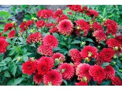 Красные цветы фото с названием