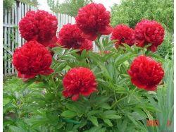 Антуриум фото цветов
