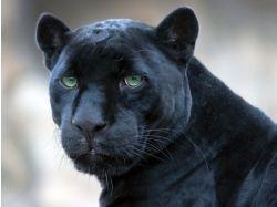 Черный ягуар животное фото