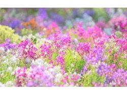 Поле цветов
