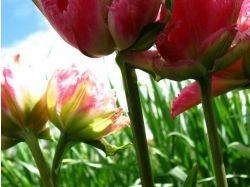 Картинка цветка тюльпана