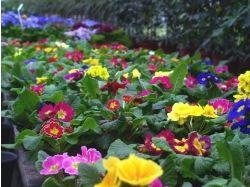 Бальзамин фото цветов