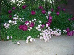 Многолетние цветы для сибири фото