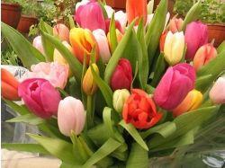 Картинки цветы тюльпаны