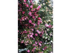 Цветы камелия фото