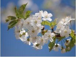 Картинки вишня в цвету