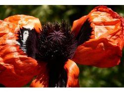 Мак фото цветов