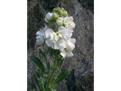 Цветы матиола фото