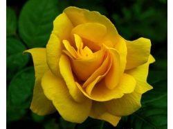 Розы красивые картинки