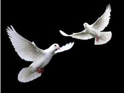 Фото свадебных голубей
