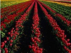 Поле тюльпанов картинки