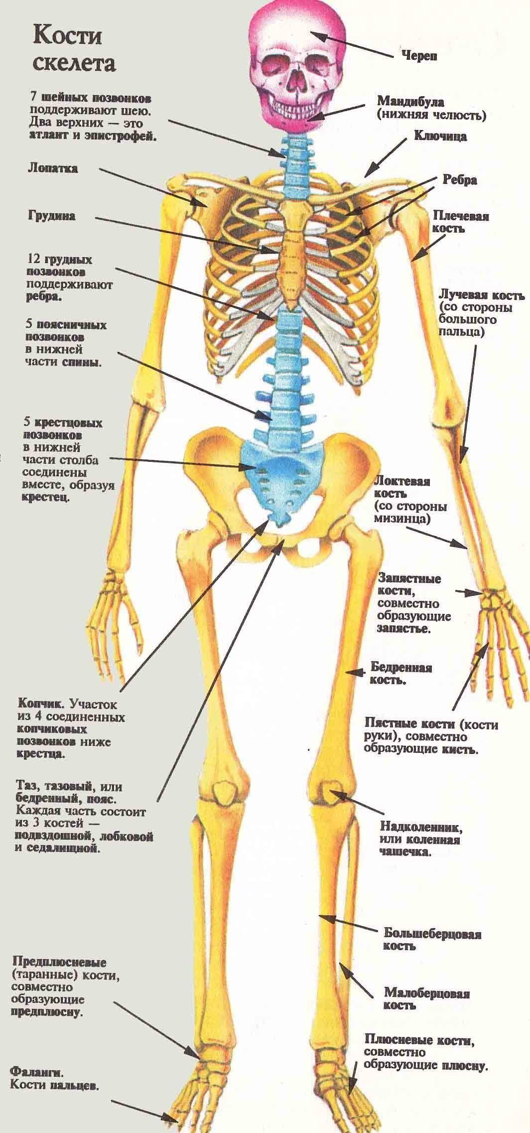 скелет человека название костей вопли оргазмов