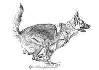 Немецкая овчарка рисунок карандашом