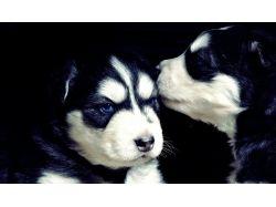 Картинки хаски щенки