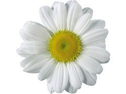 Картинка цветок ромашка нарисованная