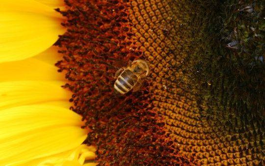 Пчелы загрузить