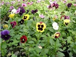 Цветы виола фото